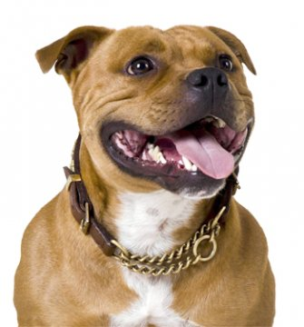Why show your dog in an original Staffie leather collar?
